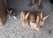 ارانب نوع سيامي للبيع