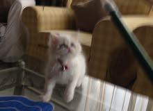 قطة صغيرة للبيع النوع برتش هيمالايا