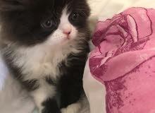 قطط عمر شيرازي عمر شهرين لي البيع