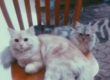 two cat for sale. only 500SR