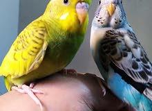 طيور حب عدد 2 آليفات جدا جدا