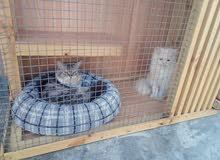 قطط شيرازيه للبيع قط شيرازي وقطه شيرازيه مع كامل اغراضهم