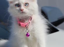 قطط شيرازية ذكر وانثى