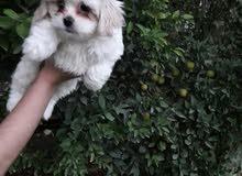 كلب ترير فرنسي ملقح مع دفتر لقاحات