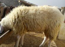 خروف عساف إلي بدو يرن