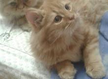 قطط بيع / تبني