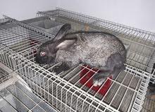 أرانب للبيع