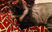 قط فارسي درجة أولى