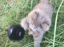 قطط هملايا(توصيل محافضات)