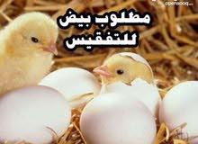 مطلوب بيض دجاج