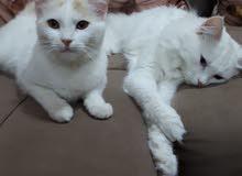 قطة شانشيلا شيرازي للبيع