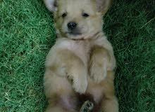 كلب زينه نوع لولو فوكس ذهبي  عمره شهرين