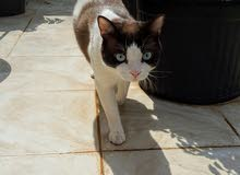 قطة سنوشو