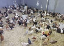 دجاج عمانيات عمر شهر و3اسابيع