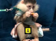 نوادر القرود