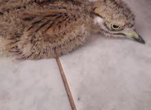 طائر كروان صغير