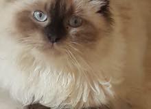 قطة هيمالايا انثي جميلة عمر 8 اشهر