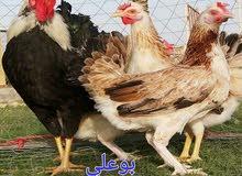 دجاج الدندراوي