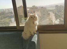 قطة شيرازي مكس مع بريتش عيون ملونة