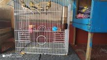 طيور الكناري و الحسون