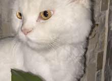 قط مفقود في ام القيوين Lost cat in umm alquwain