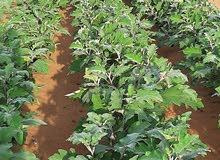 انا مزارع فى زراعه النخيل وزراعة الخضروات الجنسية  مصرى ادور على شغل فى مزارع خا