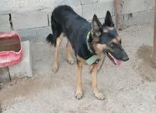 كلب جيرمن العمر7اشهر