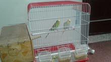 عصافير بداجي أنثى وذكر معا القفص