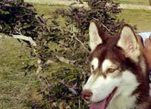 كلب هاسكى للبيع نتاية متدربة طاعة و عندها 6 شهور