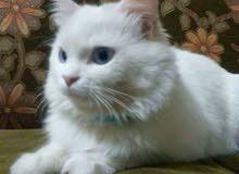 قطة شيرازي بيور حامل مطعمة عيون زرقاء