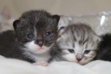 قطط للبيع جده مون فيس شيرازي كتنز