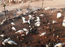 دجاج بلدي وباكستاني