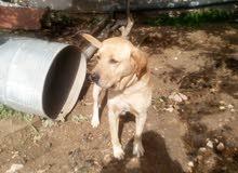 كلب لبرادور منتج العمر سنتين واربع شهور للبيع