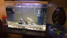 سمك مفترس سنيك هيد و تمساح للبيع