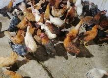 دجاج عماني بيو