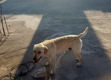 كلب لبردور عمرو ثمن اشهر سعر 800