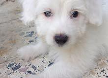 White Bichon Yokie