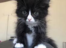 قط شيرازي باندا