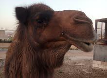 ناقة عمانية وذلول