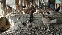 دجاج وديك ميوالي مع الفروخ