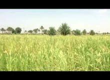 نبات البونكام العلفي نوع تنزاني ناجح بكل المحافظات العراقيه بديل الجت وشعير