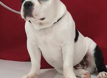 Extremely friendly American Bully Pup