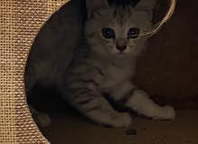 قط شيرازي من ام شيرازيه واب بنغال