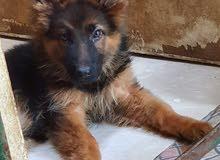 Pure German Shepherd Puppies