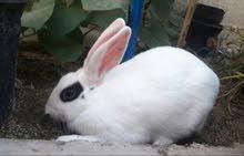 أرانب ابيض و أبيض وأسود ... كبار وصغار