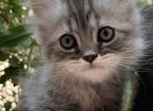 قطط شيرازي خالص للبيع