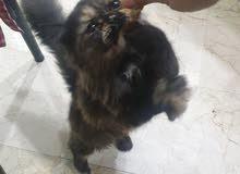 قطه بيرشن 7 اشهر للبيع