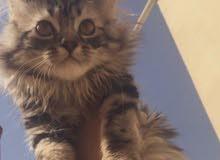 قطة شيرازية لطيفة وتحب تلعب ومعلمة على اللتر بوكس