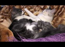 قطط شيرازي ذكر وانثى