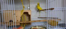 lovely buddies pair female yellow n green male